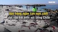 Hàng ngàn con mực chết dạt vào bờ biển Chile